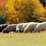Flock sheep on a autumn field